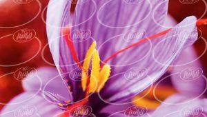 صادرات زعفران به باکو با حاشیه سود بالا