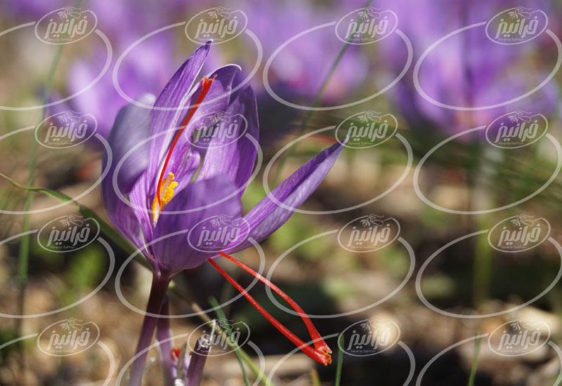 سفارش آنلاین رنگ زعفران پودر نیم کیلویی