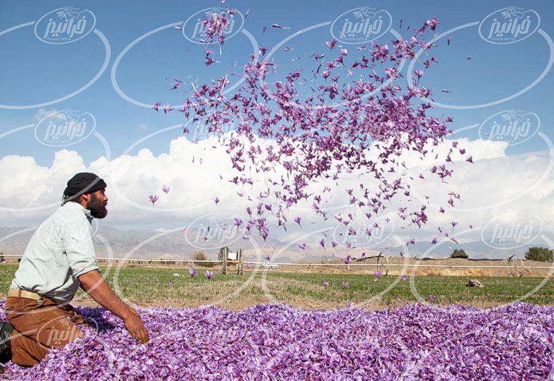 خرید زعفران سحرخیز بسته بندی شده