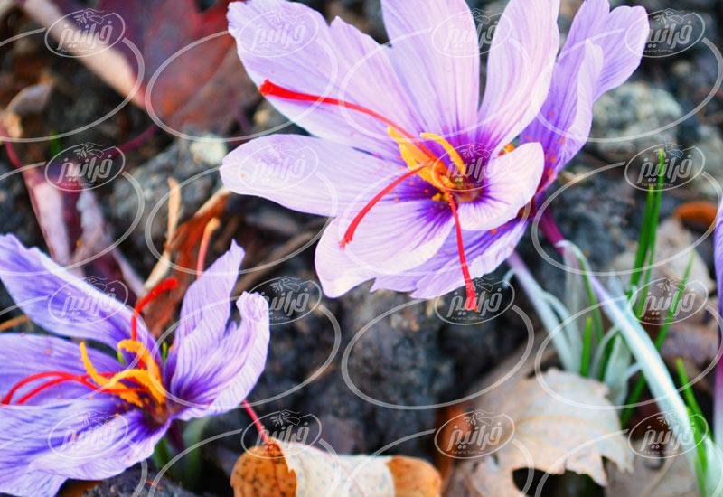 بهترین پودر زعفران تضمینی در فروشگاه های سراسر کشور