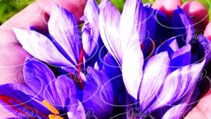 خرید بهترین زعفران دنیا از شهرستان گناباد