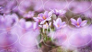 بهترین پودر زعفران در بسته بندی های مختلف