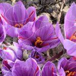 معروف ترین برند پودر ژله زعفران