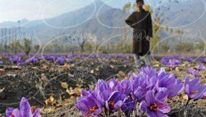 سایت اعلام قیمت زعفران به گرم